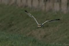 Short Eared Owl-4003 (WendyCoops224) Tags: 100400mml 80d fens winterwatch canon eos ©wendycooper short eared owl asio flammeus