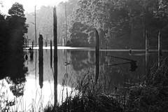 Tranquility (setoboonhong) Tags: nature outdoor lakeelizabeth tranquility morningmist reflections monochrome bokeh foliage deadtreetrunks grass trees otwaynationalpark victoria travel hmbt