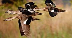 Chestnut Teals (Females) (Rodger1943) Tags: ducks teals chestnutteals australianbirds waterbirds motion sonyrx10m4 birdsinflight faunainmotion