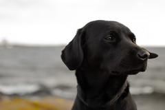 Chilla_2 (Nordas) Tags: järsö vinter winter dog dogs d3100 sea lemland labrador