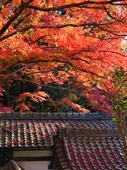 京都山科毘沙門堂 (Eiki Wang) Tags: 京都 山科 毘沙門堂 kyoto yamashina momiji 楓 紅葉