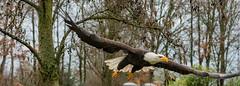 ZeeArend7 (Borreltje.com) Tags: zeearend baldeagle eagle bird birds vogel vogels topvogel birdofprey birdsofprey