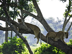 Treed lions 01 (cujo1020) Tags: lion lions africa kenya masaimara trees wildlife gx85 lumix panasonic outdoors outside nature natur natural green lioness relax