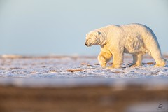 Arctic Warrior (Glatz Nature Photography) Tags: anwr alaska arctic arcticalaska barterisland glatznaturephotography icebear kaktovik nanook nanuk nanuq nature northamerica northslope polarbear usnationalparks ursusmaritimus wildanimal wildlife