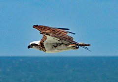Osprey! (Uhlenhorst) Tags: 2017 australia australien animals tiere birds vögel travel reisen coth coth5 ngc naturethroughthelens