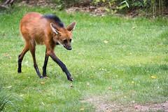 Maned wolf (Cloudtail the Snow Leopard) Tags: mähnenwolf tier animal mammal säugetier wildhund hund dog chrysocyon brachyurus maned wolf zoo leipzig