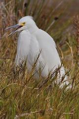Snowy Egret, Malibu Lagoon, CA CQ4A4115 (Hart Walter) Tags: malibulagoon legacypark royaltern brownpelican grayplover marbledgodwin