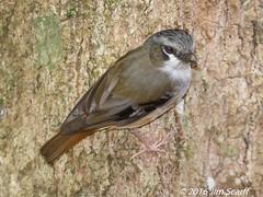 Grey-headed Robin (Jim Scarff) Tags: australianbirds greyheadedrobin heteromyiasalbispecularis passerines robins exif:aperture=ƒ71 exif:lens=ef100400mmf4556lisiiusm14xiii camera:model=canoneos7dmarkii camera:make=canon geo:location=chamberswildliferainforestlodge exif:focallength=348mm exif:model=canoneos7dmarkii exif:isospeed=1600 exif:make=canon