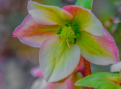 Rainbow Winter. (Omygodtom) Tags: scene senery flower flora flickriver oregon outside tamron texture tamron90mm macro dof d7000 bokeh usgs