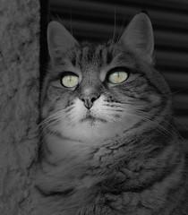 Chipie, portrait noir et blanc (Guillaume Auberget) Tags: chipie chat cat animaux animauxdecompagnie félin