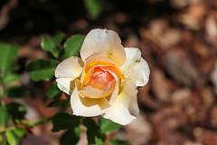 Maig_0334 (Joanbrebo) Tags: flors flores flowers fiori fleur blumen blossom rose rosa 17èconcursinternacionalderosesnovesdebarcelona park parque parc parccervantes garden jardín jardí canoneos80d eosd efs18135mmf3556is autofocus