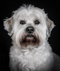 DENS3239-9 (YouOnFoto) Tags: dog hondhondje wit lief white portret portrait chien colour color kleur hdr pet animal huisdier