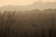 Roe Deer Buck (jamiemcd17) Tags: bogside irvine deer roedeer mammal wildlife nature nikon sunset