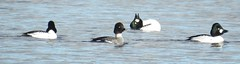 goldeneye (BSCG (Badenoch and Strathspey Conservation Group)) Tags: bird duck display bucephala march moray sunshine