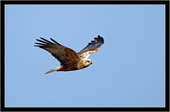 MARSH HARRIER (PHOTOGRAPHY STARTS WITH P.H.) Tags: marsh harrier weymouth dorset d500 500mm afs vr