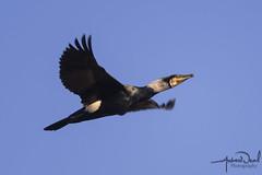 Cormorant (AndyNeal) Tags: animal wildlife nature essex essexwildlifetrust ewt abbertonreservoir bird birdsinflight cormorant