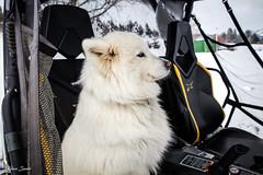 Jubelle prête à partir (Kilian Sanlis) Tags: doubs franchecomté nature wild motherwood hiver winter snow neige fourgs samoyede samoyed chien dog animal canon eos 5d tamronsp2470mmf28divcusd