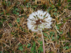 Gone To Seed. (dccradio) Tags: lumberton nc northcarolina robesoncounty outdoor outdoors outside flower floral weed weeds dandelion grasslawn greenery browngrass february winter thursday thursdaymorning morning goodmorning canon powershot elph 520hs white seed gonetoseed