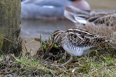 Common Snipe with a worm (photogramps) Tags: common snipe birds waterlife waterbirds wildlife rspb wwt