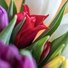 Coloré (sosivov) Tags: flower flowers tulip red violet yellow white green squareformat square