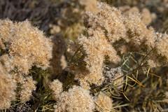 Rabbitbrush (BeerAndLoathing) Tags: 2018 october denver plants 77d rabbitbrush colorado outdoors clearcreek canon fall arvada usa canoneos77d