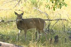 2017 White-tailed Deer (DrLensCap) Tags: whitetailed deer blackhillsnationalforest playhouse road iron mountain black hills national forest rapid city south dakota sd animal mammal 40 day adventure robert kramer