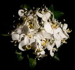 PHALAENOPSIS AMABILIS ORCHID (J.P.B) Tags: orchid orchidée flowers fleur bouquet phalaenopsisorchids