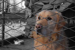 Thinking (DPozega) Tags: dog d3300 nikon ani animal out outdoor golden retriever cute pet fence pas