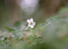 woodland violet (Emma Varley) Tags: flower wild woodland violet white sweet bokeh dreamy shallowdepthoffield
