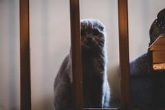Watchful eyes (n8fire) Tags: piura scottishfold cat fujixt3 fujinonxf56mmf12rapd