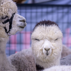 20190316-Alpaca-3402 (Karen Dixon Photography) Tags: alpaca animals cute adorable groomed