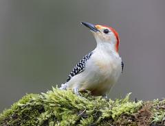 Red-bellied Woodpecker (Elizabeth Wildlife) Tags: redbellied woodpecker birds