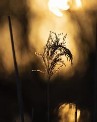 bloom (*magma*) Tags: torreflavia palude riserva naturale ladispoli controluce backlight natura nature