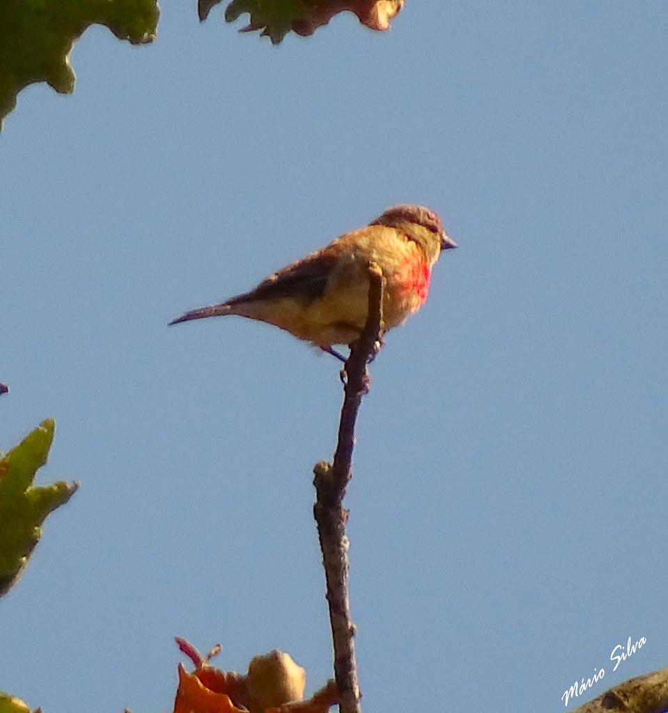 Águas Frias (Chaves) - ... Pintarroxo (Carduelis cannabina) na extremidade de fino ramo ...
