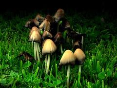 Healthy, Harmful or High? (World-viewer) Tags: grass garden mushrooms mushroom closeup effects fun apollo iphone8plus iphone test experiment macro artistic