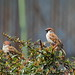 Eurasian tree sparrows (Passer montanus saturatus, スズメ)