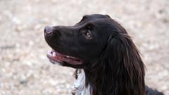 Charlie (Simon Downham) Tags: cocker spaniel dog worker working gun red brown auburn friend companion