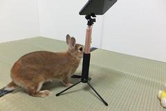 Ichigo san 1530 (Errai 21) Tags: いちごさん ichigo san  ichigo rabbit bunny cute netherlanddwarf pet うさぎ ウサギ いちご ネザーランドドワーフ ペット 小動物 1530