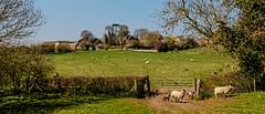 Pastoral (Peter Leigh50) Tags: fujifilm fuji xt2 leicestershire landscape landschaft countryside rural saddington village sheep ewe lamb field farmland farm church pub trees house gate hedge
