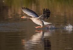 Abflug ins Wochenend (wernerlohmanns) Tags: wasservögel wildlife natur outdoor naturpark nabu nsg nikond750 d750 deutschland gänse gänsevögel graugänse schärfentiefe sigma150600c