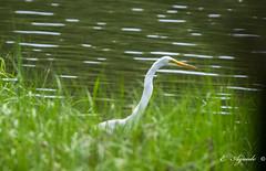 Heron (E. Aguedo) Tags: heron white bokeh bird animal ngc wild wildlife warwick rhodeisland nature summer