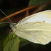Cabbage White - Pieris rapae, Occoquan Regional Park, Lorton, Virginia