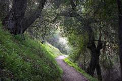 Canopy of Oak Trees (Kirk Lougheed) Tags: california junipercanyontrail pinnacles pinnaclesnationalpark usa unitedstates westpinnacles forest landscape liveoak nationalpark oak outdoor park path spring trail tree
