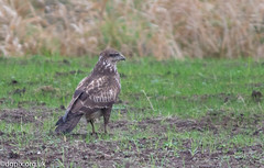 Buzzard (Danny Gibson) Tags: birds bird birding birder birdwatching birdwatcher birdphotography nature naturephotography naturalworld dg dgpixorguk wildlife wildbirds wildlifephotography canon7dmk2 sigma150600mmhsmosdg buzzard buzzards commonbuzzard birdofprey bop raptor raptors