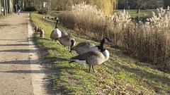 Im Ratsdienergarten (outbreak998) Tags: schleswigholstein kiel deutschland vögel canon eos r rf 50mm f12 169 4k 3840x2160 adobergb