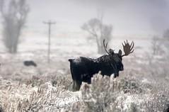 Bull moose in Jackson, WY (wesrowntree) Tags: jackson jacksonhole moose