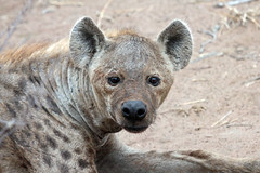 Portrait of spotted hyena in Kruger National Park (Mikhail & Yana) Tags: spottedhyena crocutacrocuta animal nature wildlife krugernationalpark southafrica laughinghyena пятнистаягиена