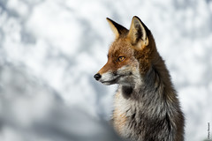 Thinking of you (Mary Bassani) Tags: fox redfox volpe neve snow piemonte pngp canonphotographer canonwildlifephotographer italy portrait animal animallovers fauna wild winter retrato
