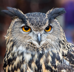 Eurasian Eagle Owl1c (adben11) Tags: raptor magnificence feather eater avian beak eagle owl eurasianeagleowl hunter feathers orange eyes horned flight night nightbird predator perched