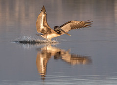 Brown Pelican, Tijuana SloughNational Wildlife Refuge, California (viewsfromthespit) Tags: california nikon200500mmf56440mm wildlife birdinflight tijuanasloughnationalwildliferefuge bif brownpelican venice nikond500 bird